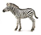 Zebra źrebię
