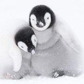 Karnet kwadrat z kopertą A pair of Emperor Penguin