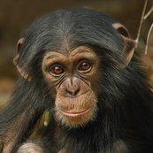 Karnet kwadrat z kopertą Baby Chimp