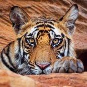 Karnet kwadrat z kopertą Tiger cub