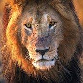 Karnet kwadrat z kopertą Male Lion
