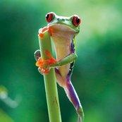 Karnet kwadrat z kopertą Red Eyed Frog