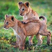 Karnet kwadrat z kopertą Lion Cubs
