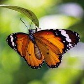 Karnet kwadrat z kopertą Tiger Butterfly