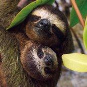 Karnet kwadrat z kopertą Three-toed Pygmy Sloth