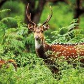 Karnet kwadrat z kopertą A Chital Deer