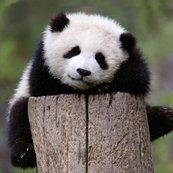 Karnet kwadrat z kopertą Giant Panda Baby