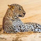 Karnet kwadrat z kopertą Leopard in sand