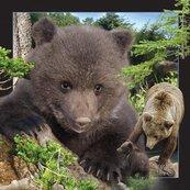 Pocztówka 3D Niedźwiedź Brunatny
