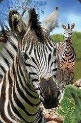 Mini kartka 3D Zebra