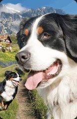 Mini kartka 3D Berneński Pies Pasterski