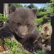 Magnes 3D Niedźwiedź Brunatny